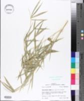 Phyllostachys aurea image