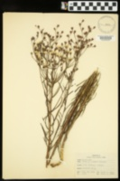Image of Vernonia recurva