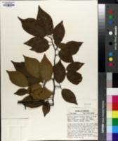 Prunus lanata image
