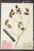 Image of Robinia speciosa