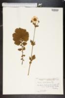 Image of Geum rhodopeum