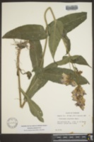 Penstemon calycosus image
