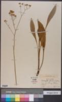 Hartwrightia floridana image