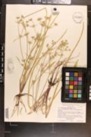 Eryngium petiolatum image
