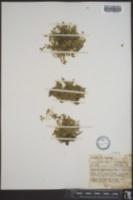 Image of Arenaria macrantha