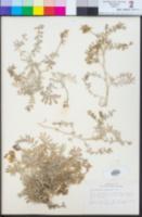 Astragalus nevinii image
