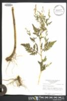 Ambrosia artemisiaefolia image