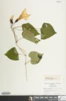 Image of Ipomoea pandurata