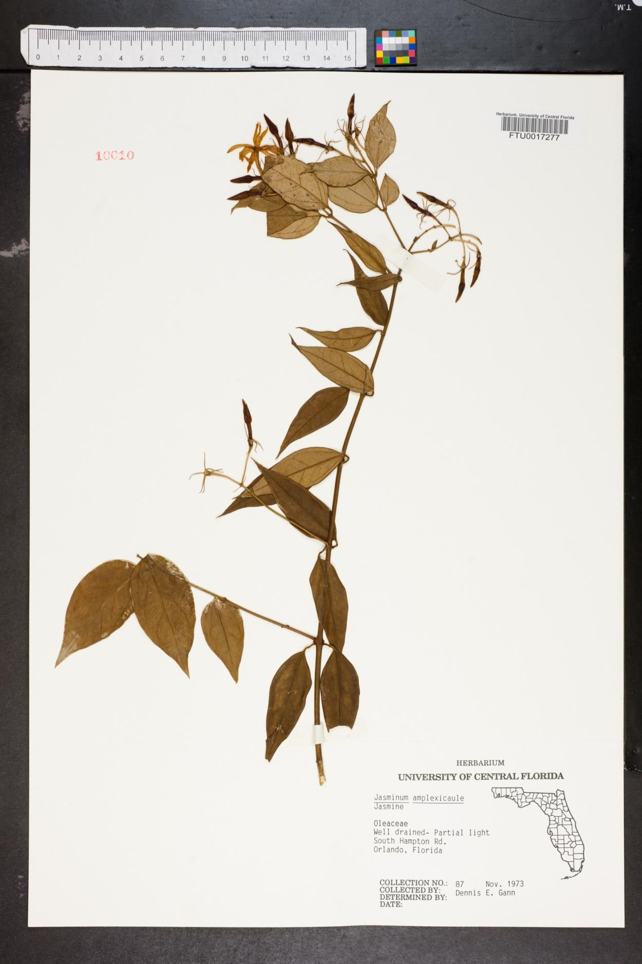 Jasminum amplexicaule image