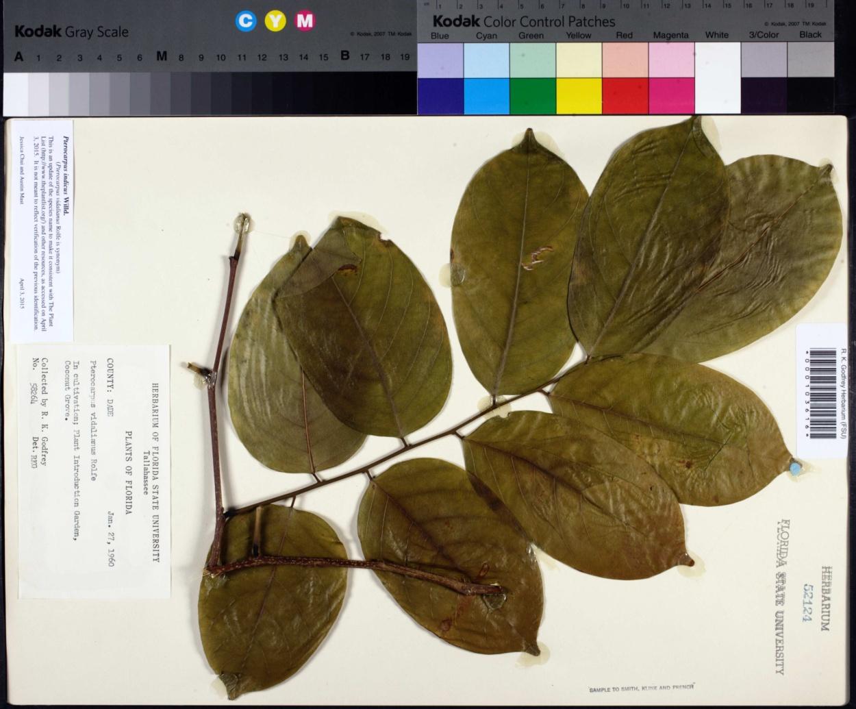 Pterocarpus image