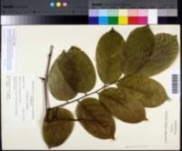 Image of Pterocarpus indicus