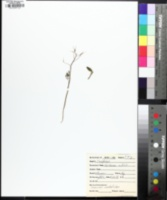 Cardamine dissecta image