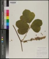 Pueraria montana var. lobata image