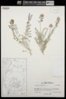 Astragalus thurberi image