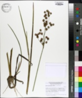 Image of Juncus polycephalos