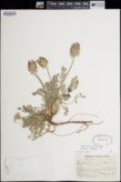 Astragalus troglodytus image