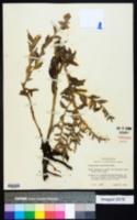 Onosmodium occidentale image