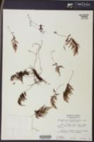 Hymenophyllum lanceolatum image
