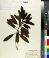 Coprosma ernodeoides image