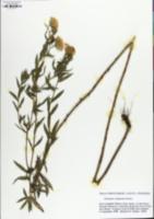 Heterotheca camporum image