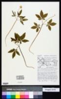 Panax trifolius image