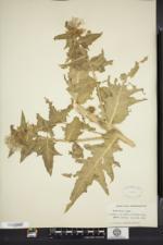 Hyoscyamus niger image