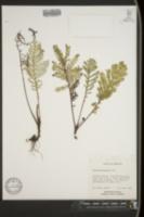 Image of Tanacetum huronense