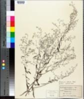 Artemisia ludoviciana subsp. albula image