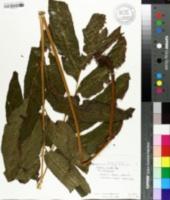 Image of Tectaria crenata