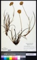 Image of Conostylis aculeata