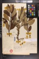 Image of Chionanthus henryae