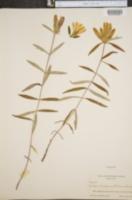 Image of Gentiana cherokeensis