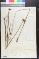 Balduina uniflora image
