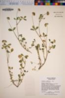 Trifolium cyathiferum image