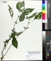 Dicliptera brachiata image