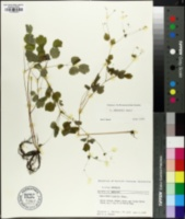 Image of Thalictrum mirabile
