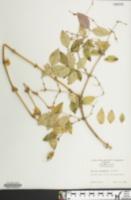 Image of Lonicera standishii