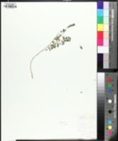 Image of Phyllanthus carolinianus