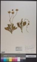 Platyschkuhria integrifolia image