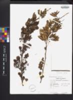 Haematoxylum campechianum image