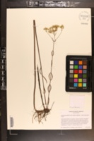 Eupatorium paludicola image