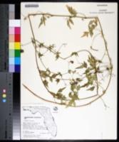 Cardiospermum microcarpum image