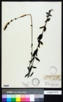Buchnera americana image