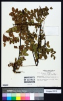 Amorpha georgiana image