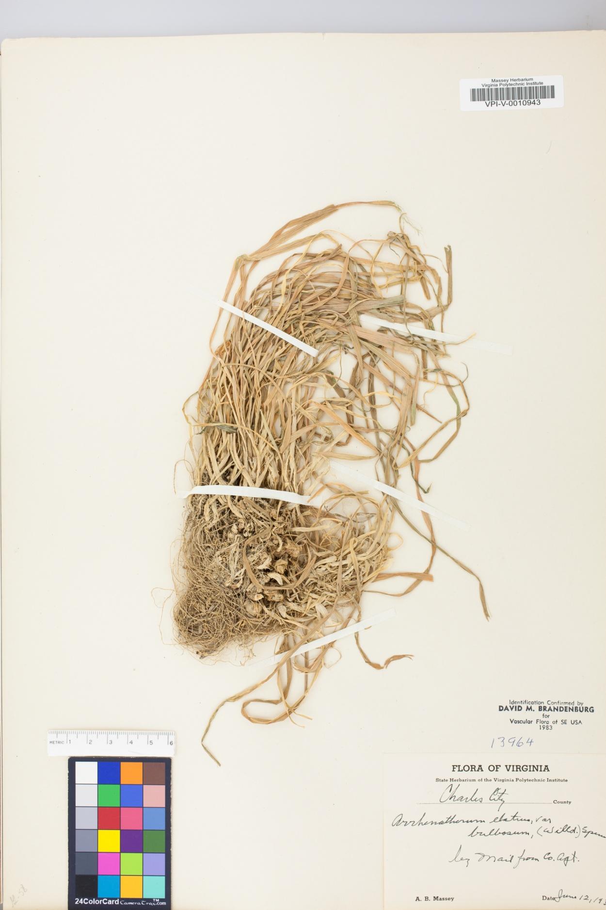 Arrhenatherum elatius subsp. bulbosum image