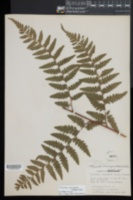 Saccoloma domingense image