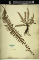 Blechnum kunthianum image