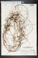 Cassytha filiformis image