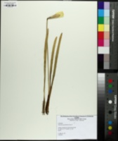 Narcissus pseudonarcissus image