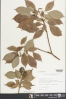 Trochodendron aralioides image